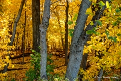 Forest of Gold - Libertyville IL