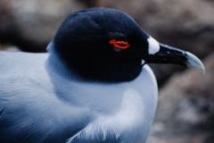 Eyelashes of Red - Galapagos Islands