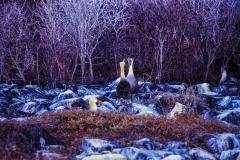 Gooney Bird Duet - Galapagos Islands