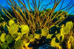 Cactus Glimmer - Oro Valley AZ