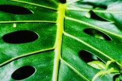 Holy Leaf - Hawaii HI.