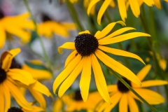 Petals of Yellow - Burtrum MN.