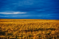 Tundra Gold - High Artic