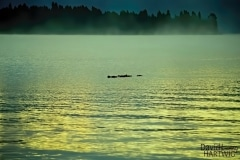 Early Morning Swim - Priest Lake ID.