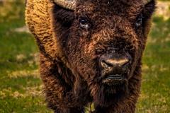 A Bison Faceoff -  Roosevelt NP, ND.