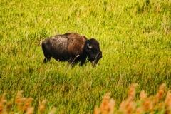 Lonely Buffalo - Antelope Island UT