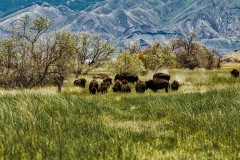 Where the Buffalo Roam - Antelope Island UT
